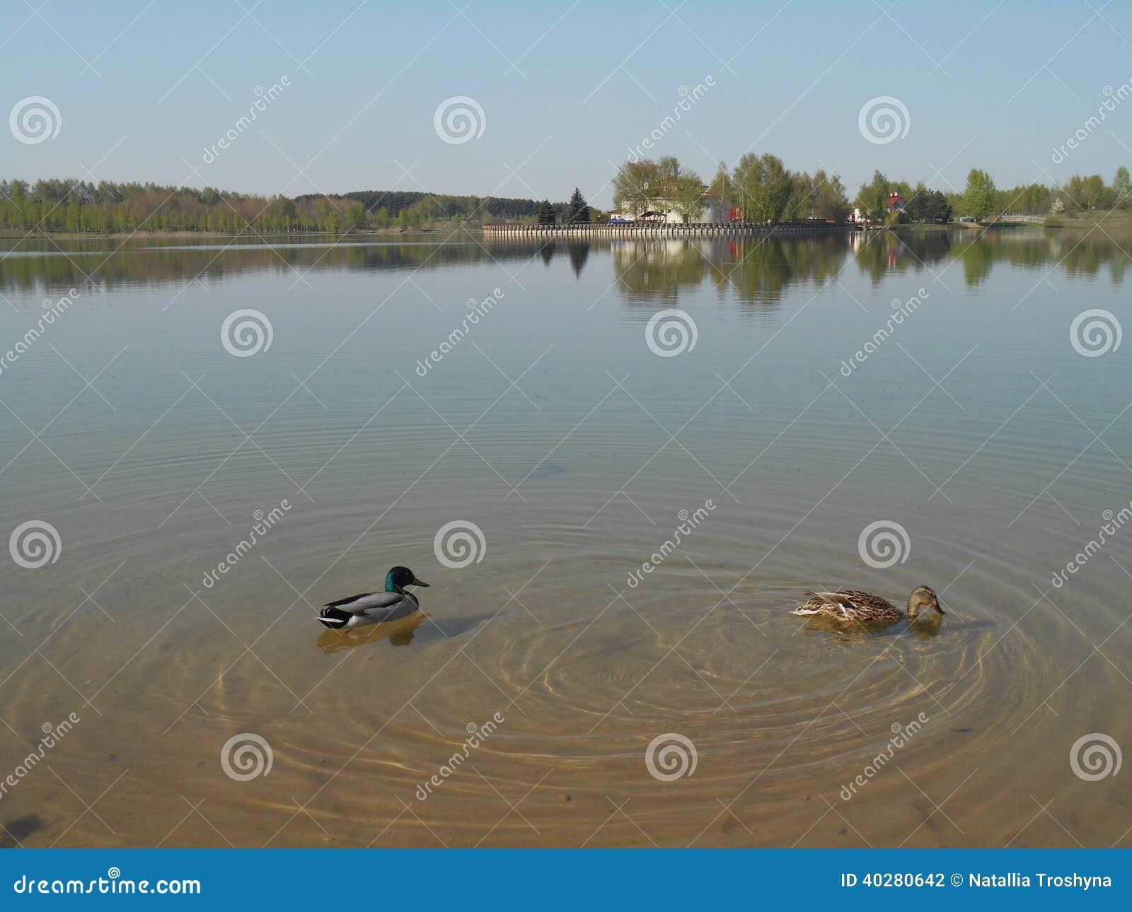 Пары уток на озере