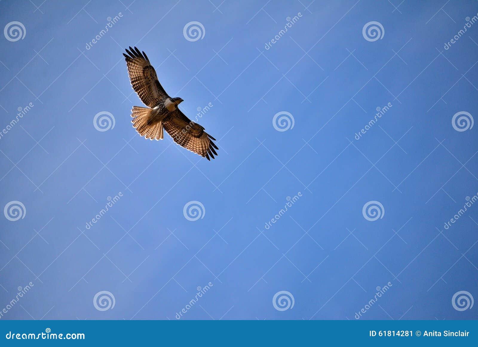 Парящий хоук против голубого неба