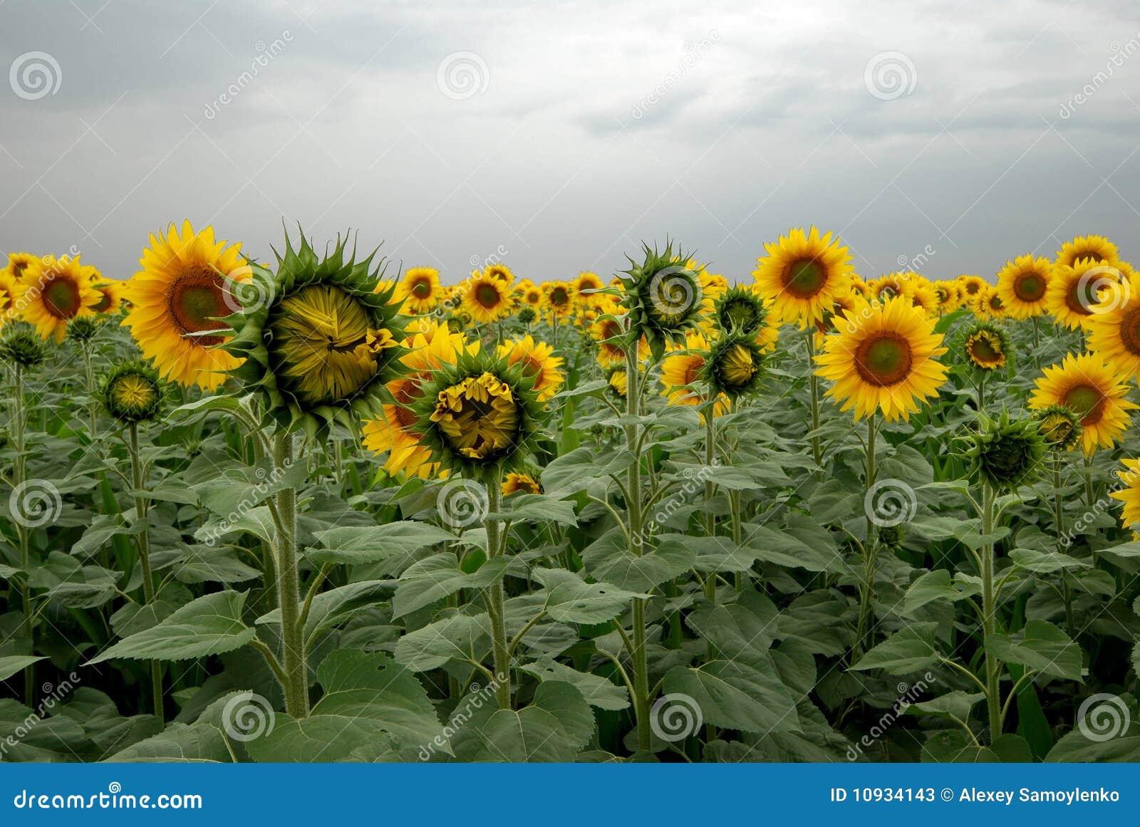 пасмурный солнцецвет поля дня