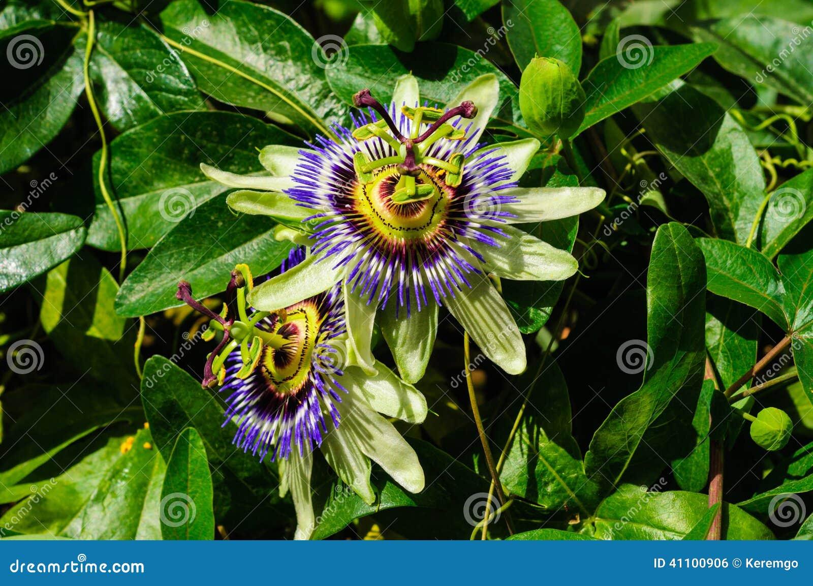 Пассифлора цветка страсти