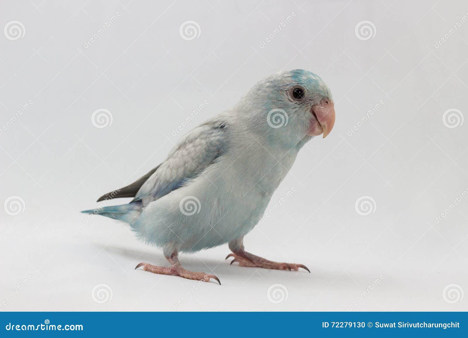Download Пастельная голубая птица Forpus Стоковое Фото - изображение насчитывающей попыгай, bluets: 72279130