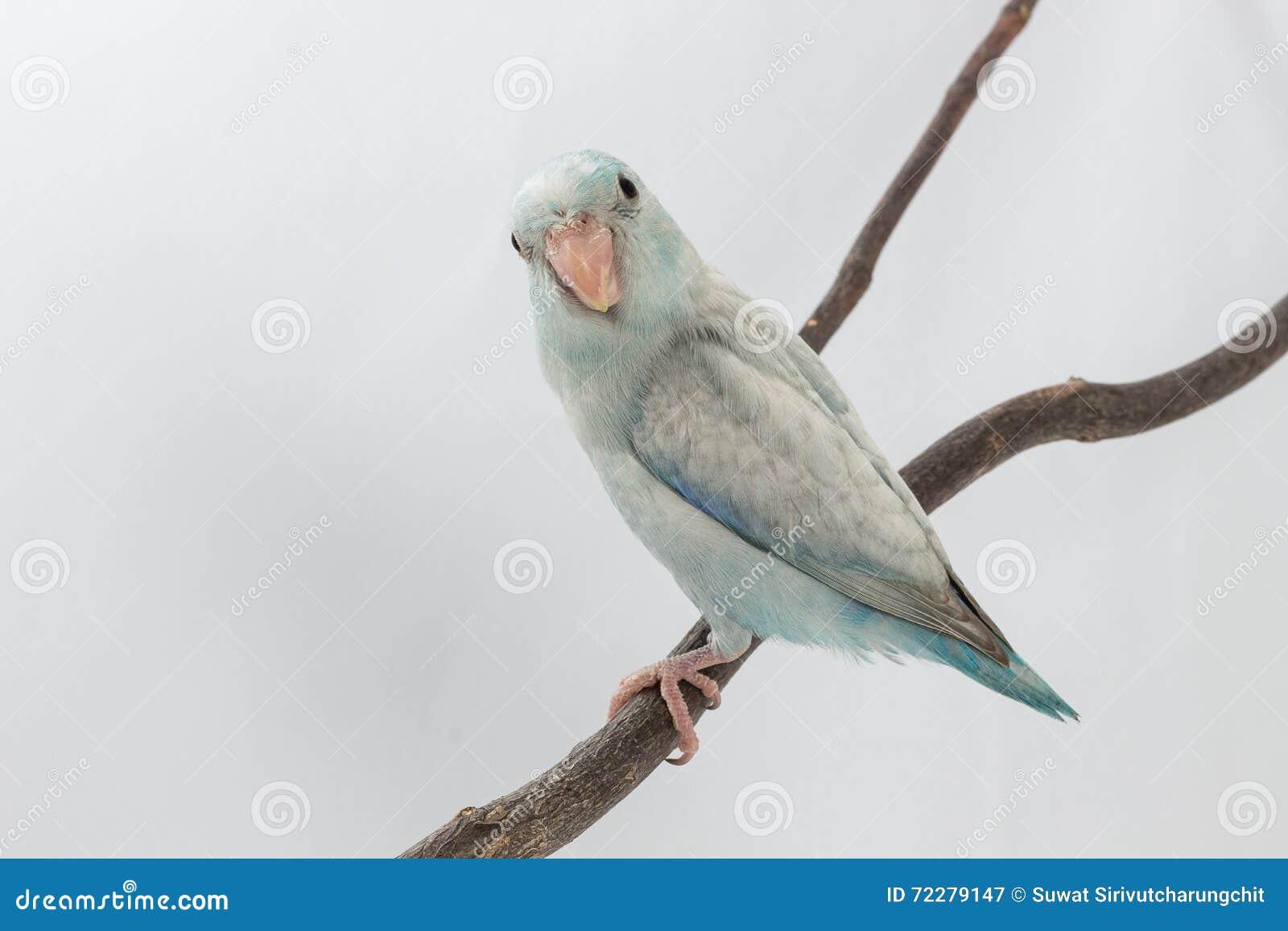 Download Пастельная голубая птица Forpus Стоковое Изображение - изображение насчитывающей любимчик, крыло: 72279147