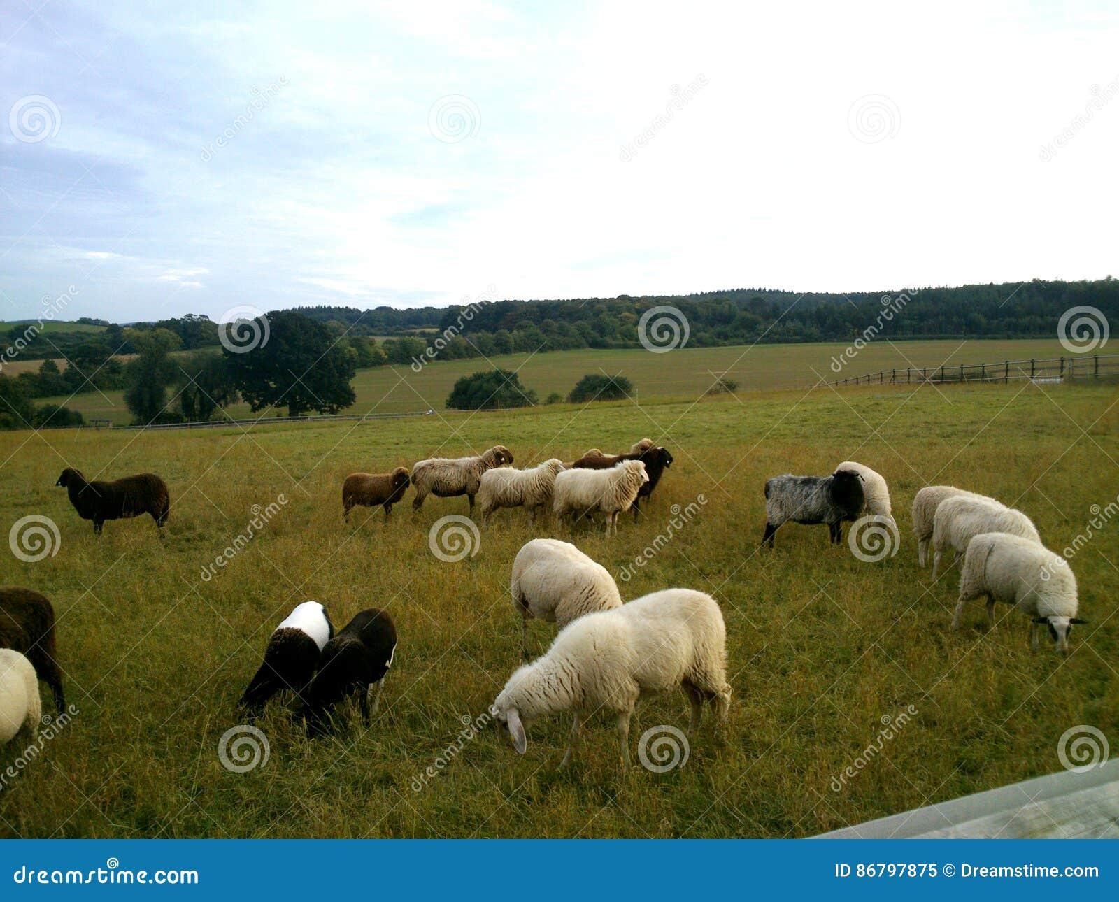 Пасти овец на луге