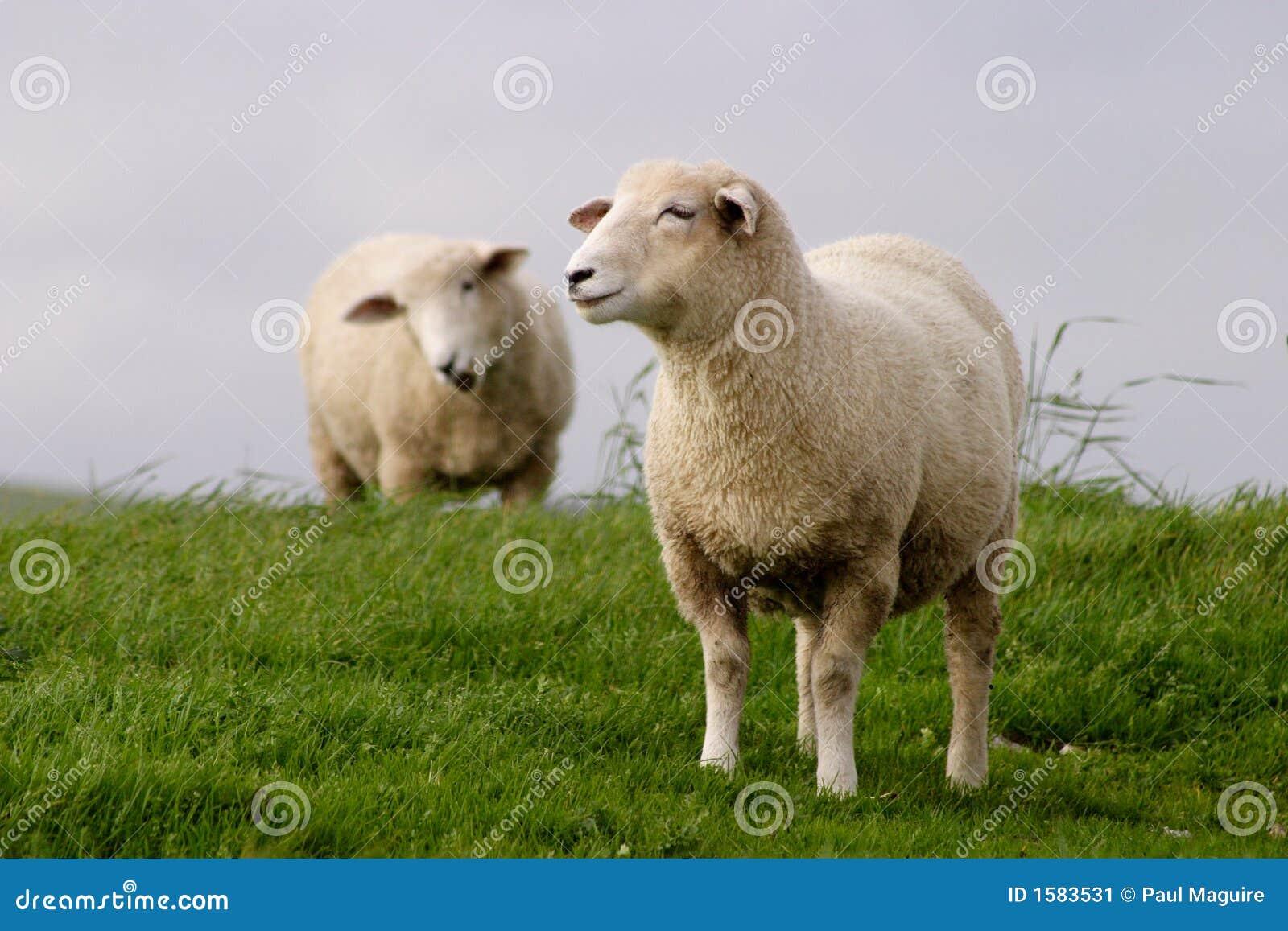 пасти овец