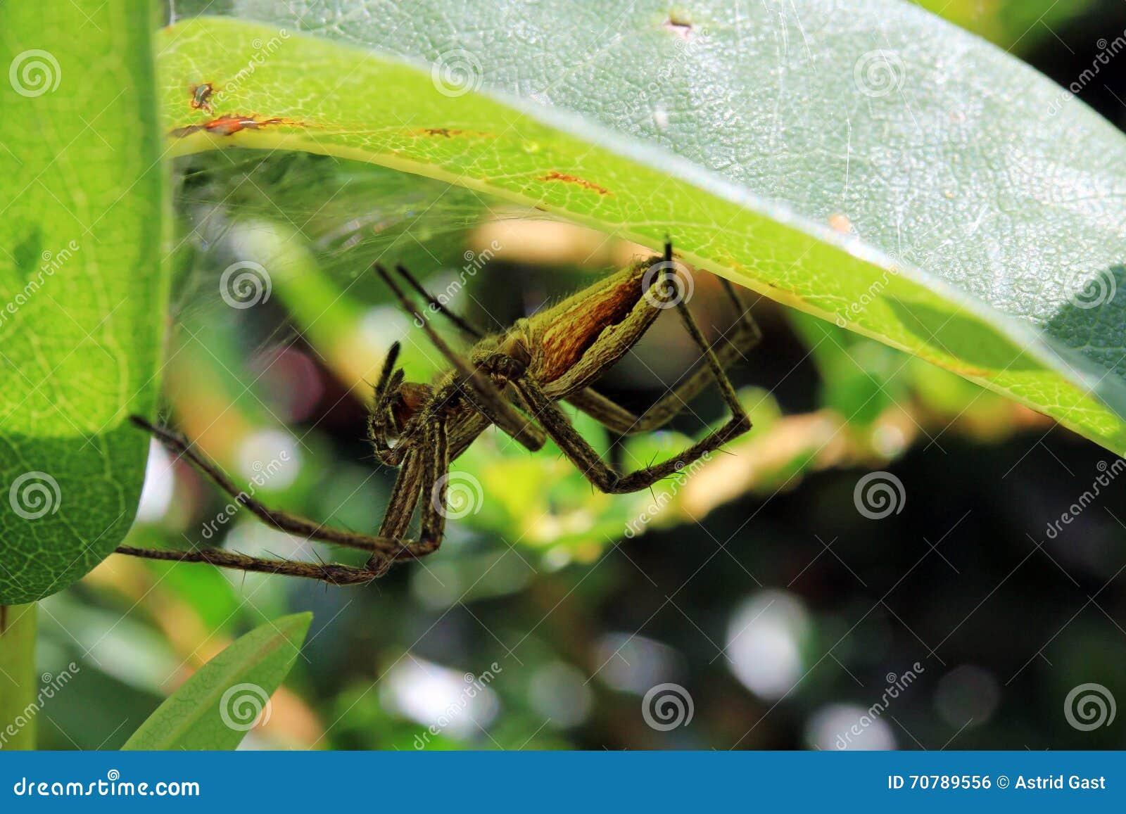 Паук звероловства скрывается хорошо закамуфлированный в их прятать