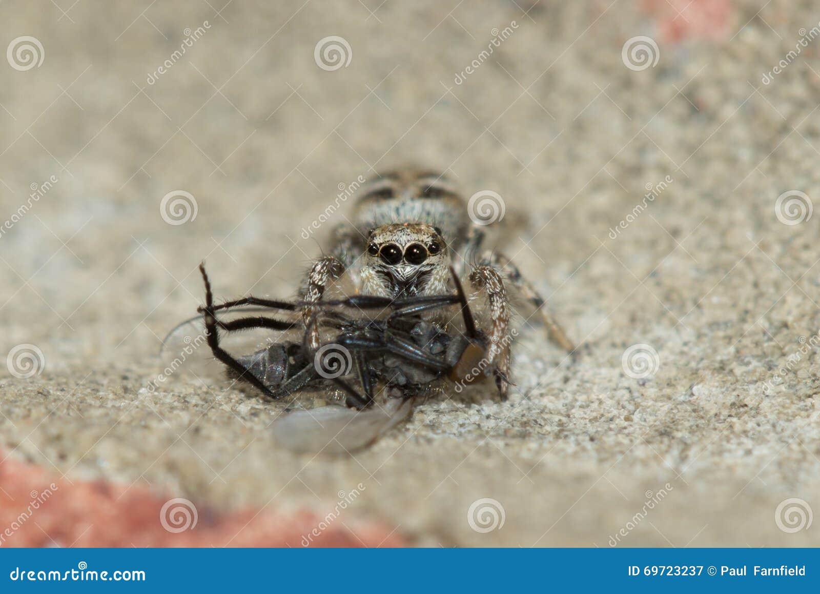Паук зебры (scenicus Salticus) с добычей