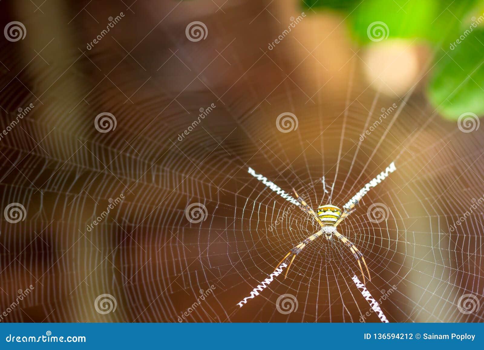 Паук креста Сент-Эндрюса на сети паука