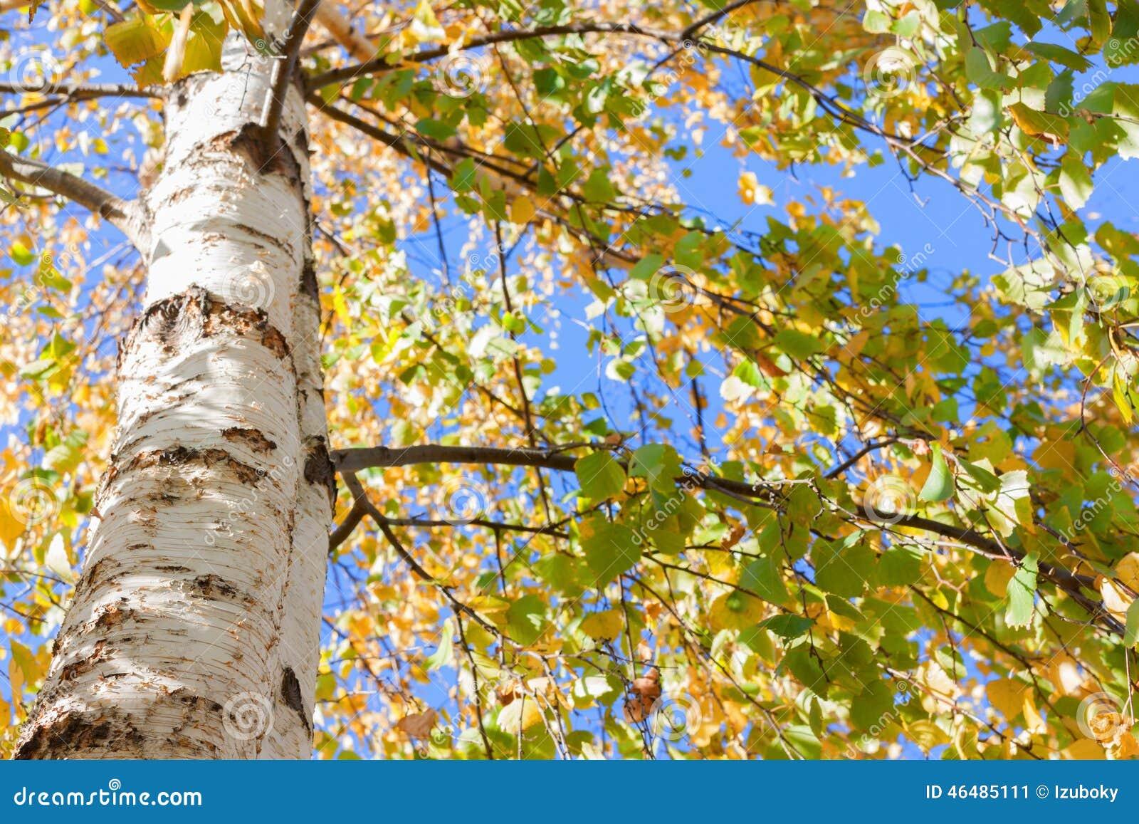 Падение дерева березы выходит желтый цвет