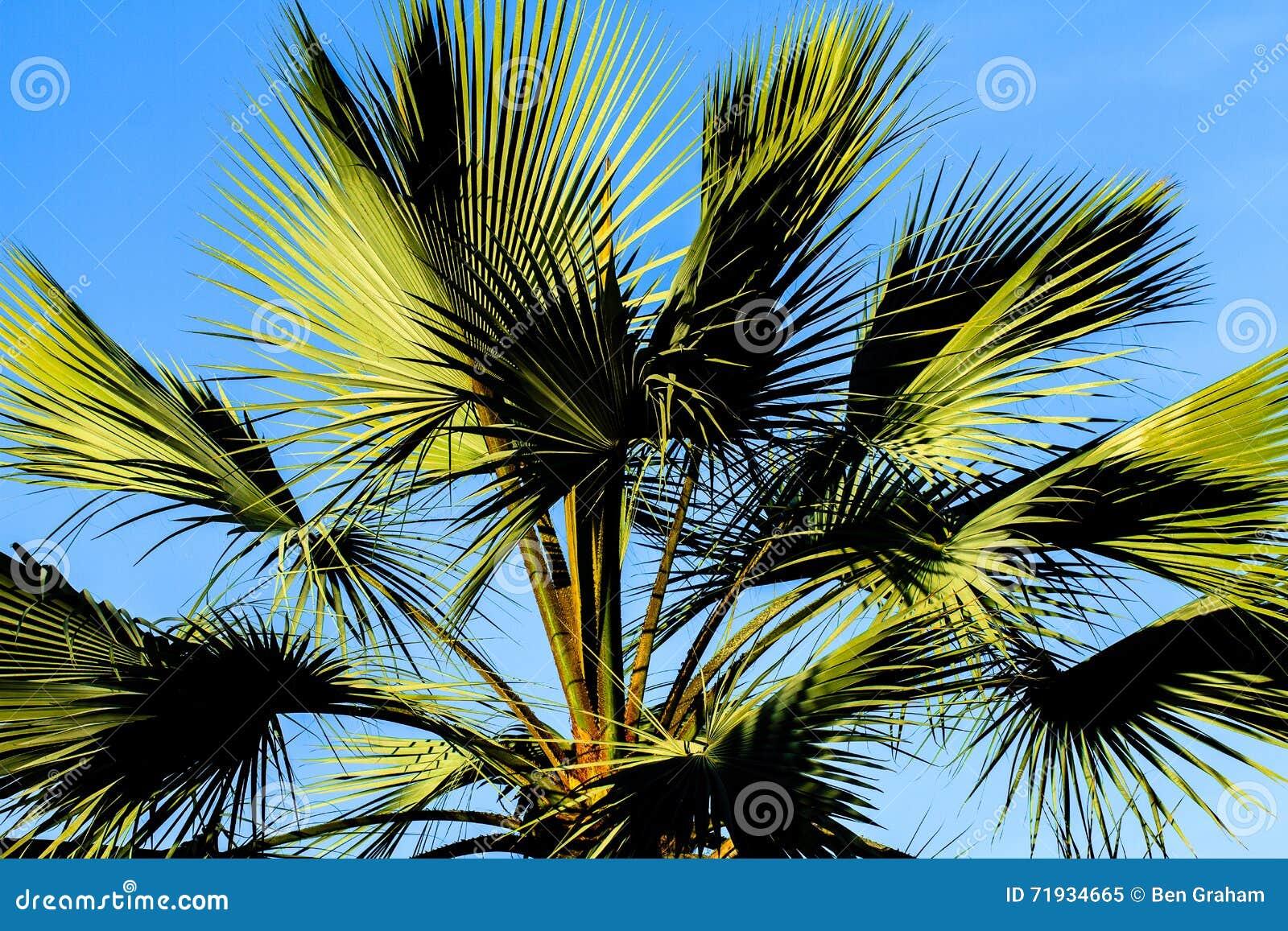 Пальма Калифорния