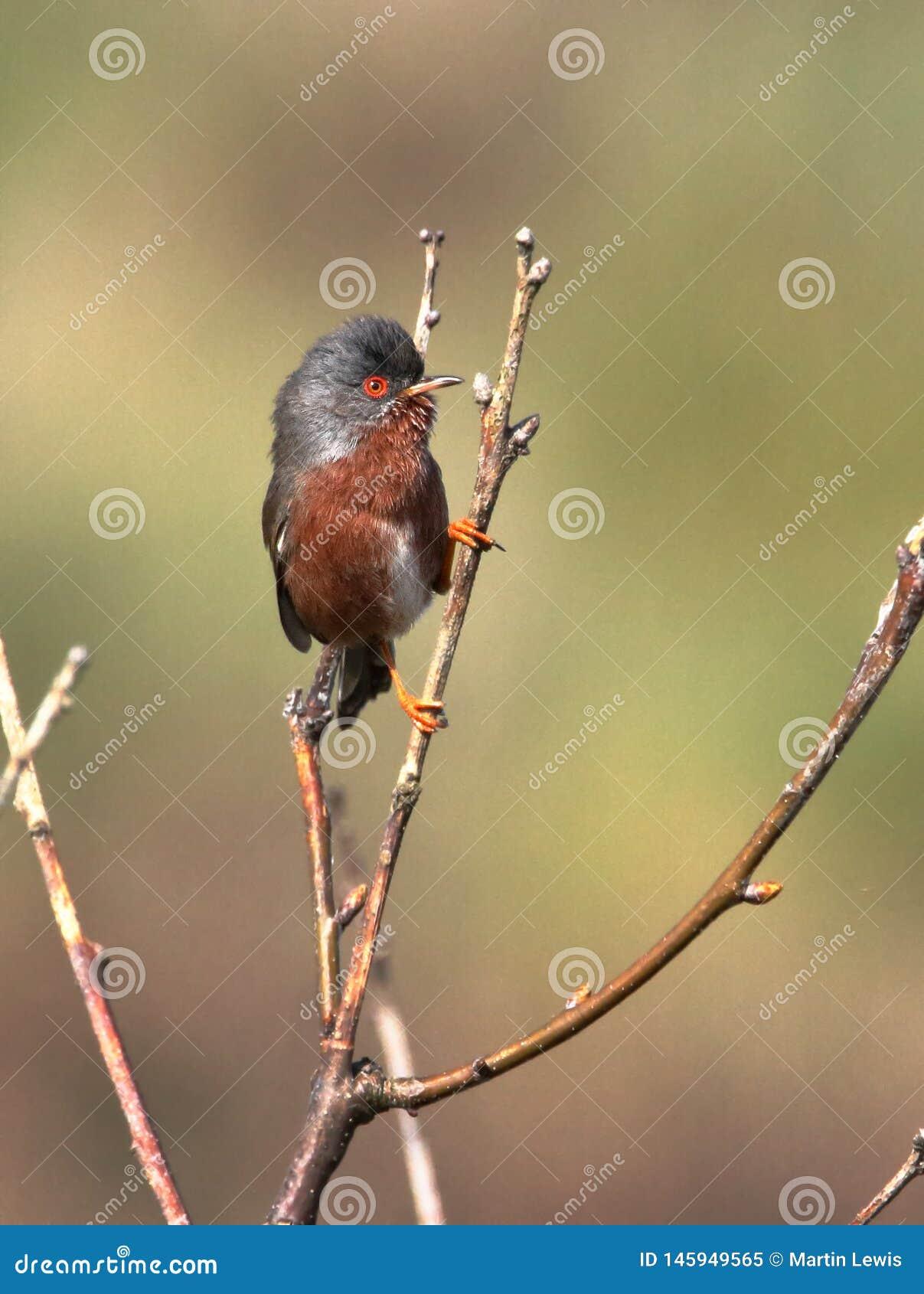 Певчая птица Дартфорда на сигнале тревоги