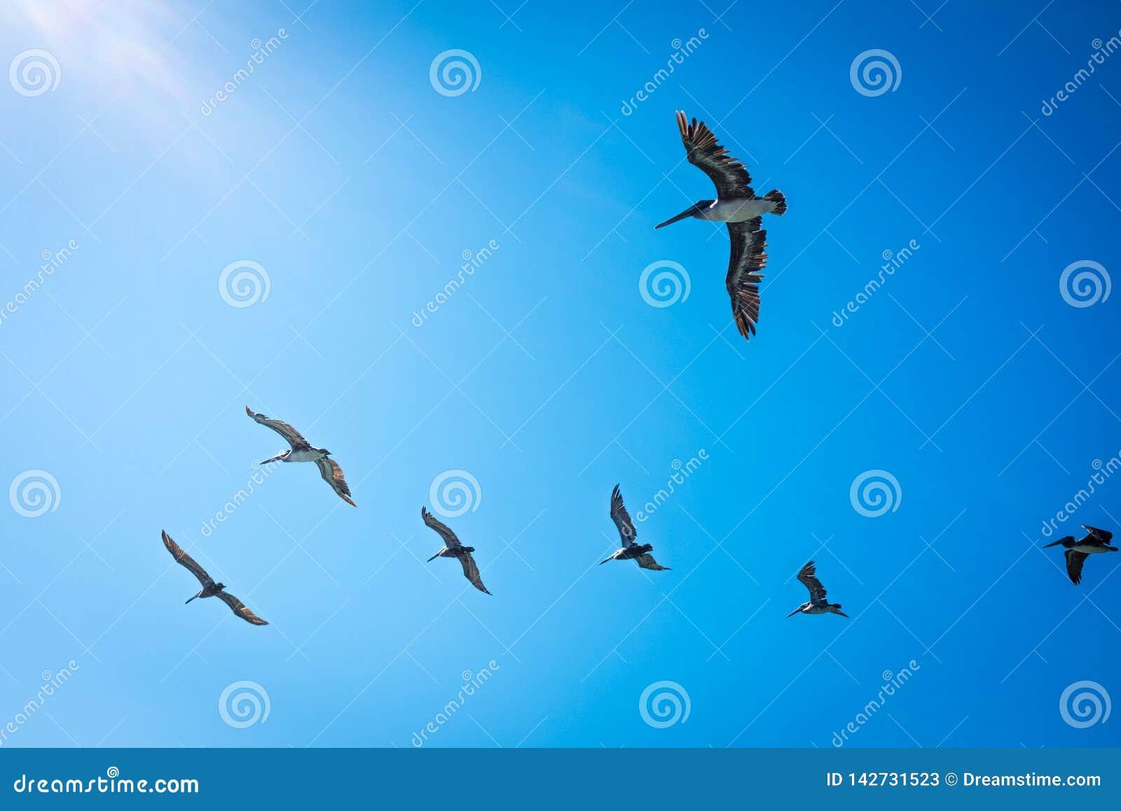 Пеликаны в Калифорния