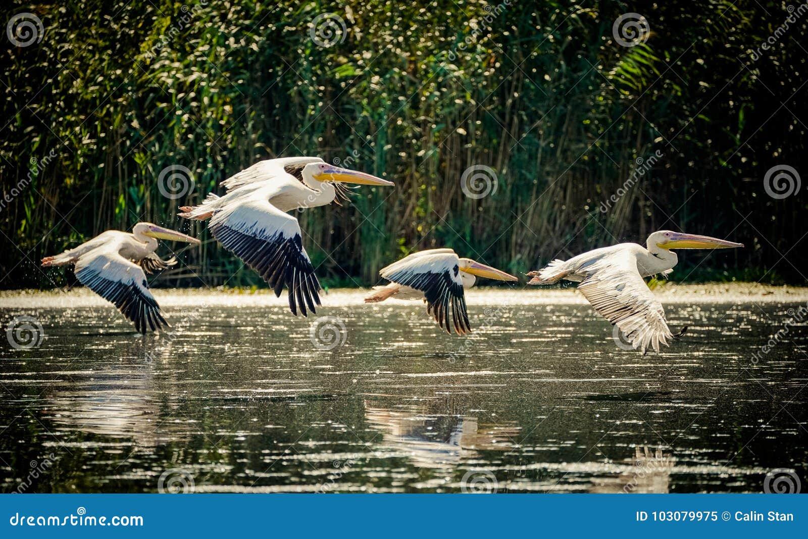 Пеликаны летая в перепад Дуная, Румыния