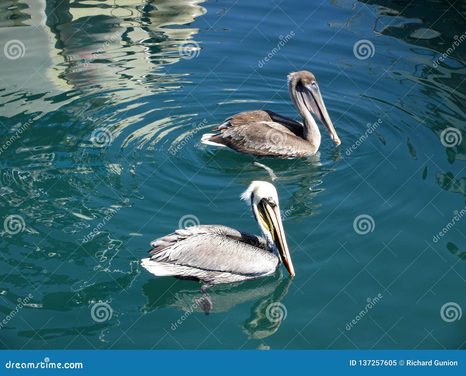 пеликаны парка пар avifauna нидерландские