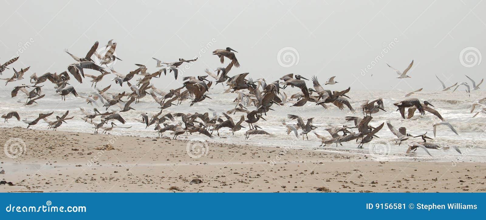 пеликаны полета