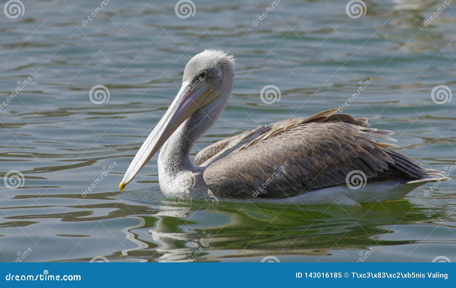 Пеликаны улавливая рыб около озера Hora, Эфиопии