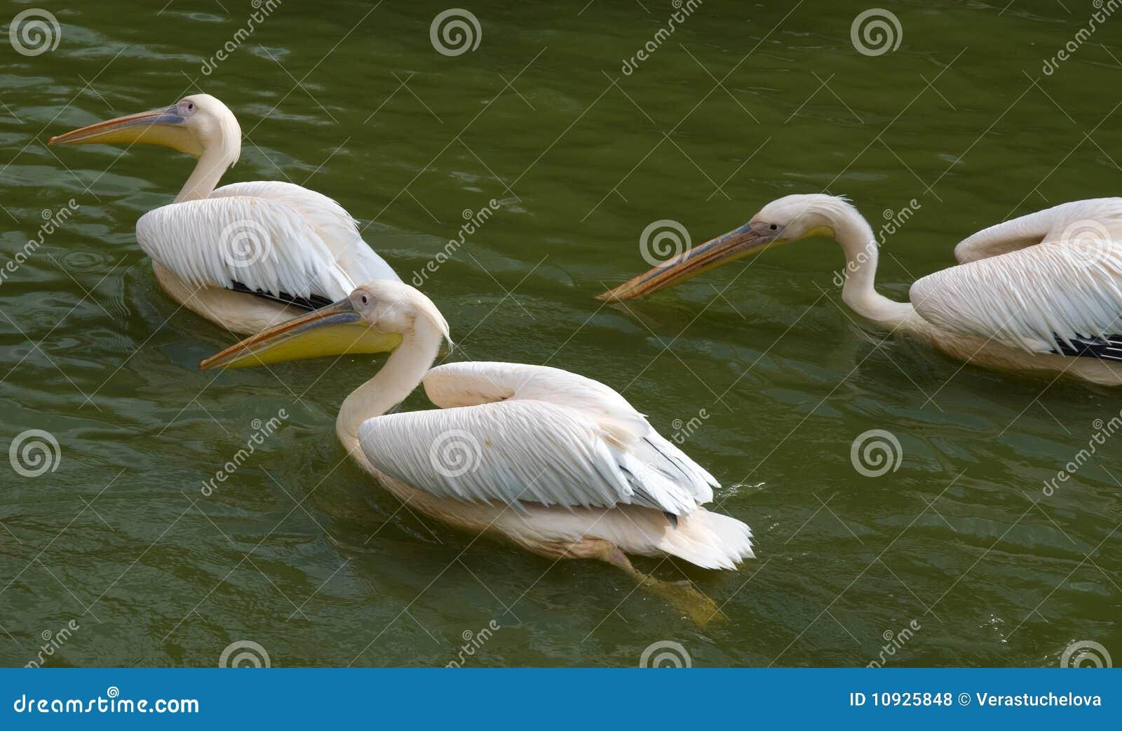пеликаны 3