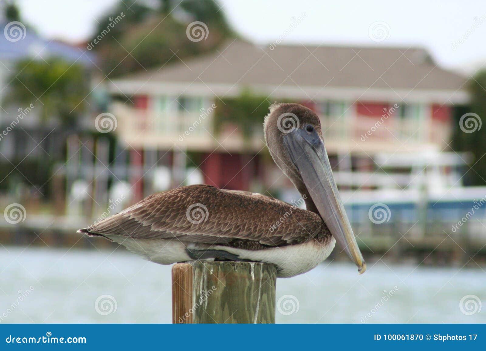 Пеликан Брайна, Флорида, США