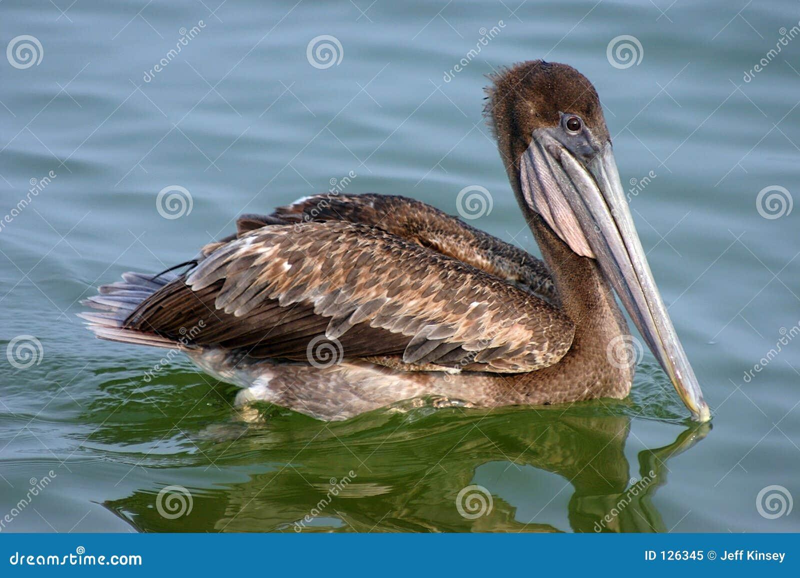 пеликан залива коричневый