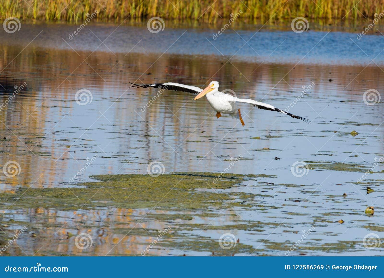 Пеликан посадки