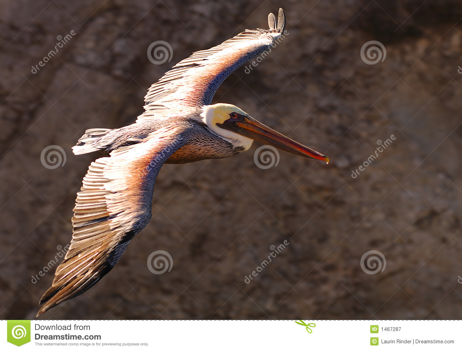 пеликан 19