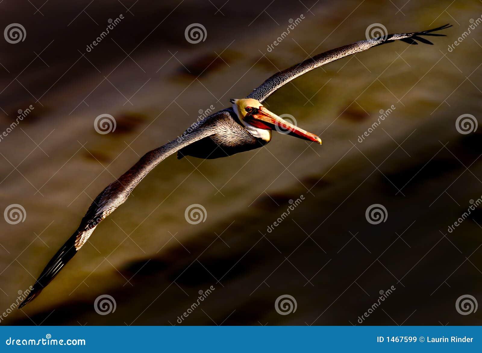 пеликан 21