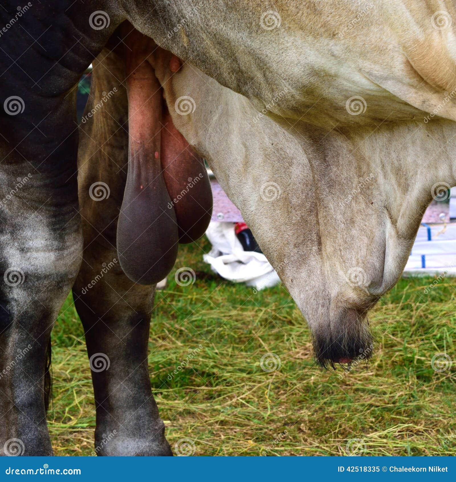 Пенис у быка фото фото 227-967