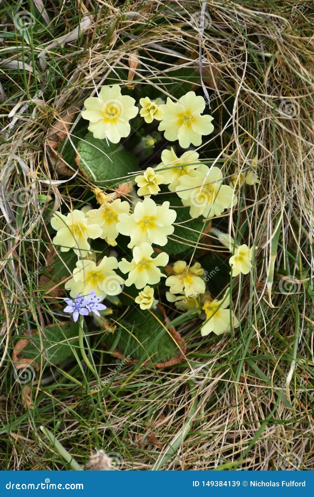 Первоцветы на береговой линии валийца