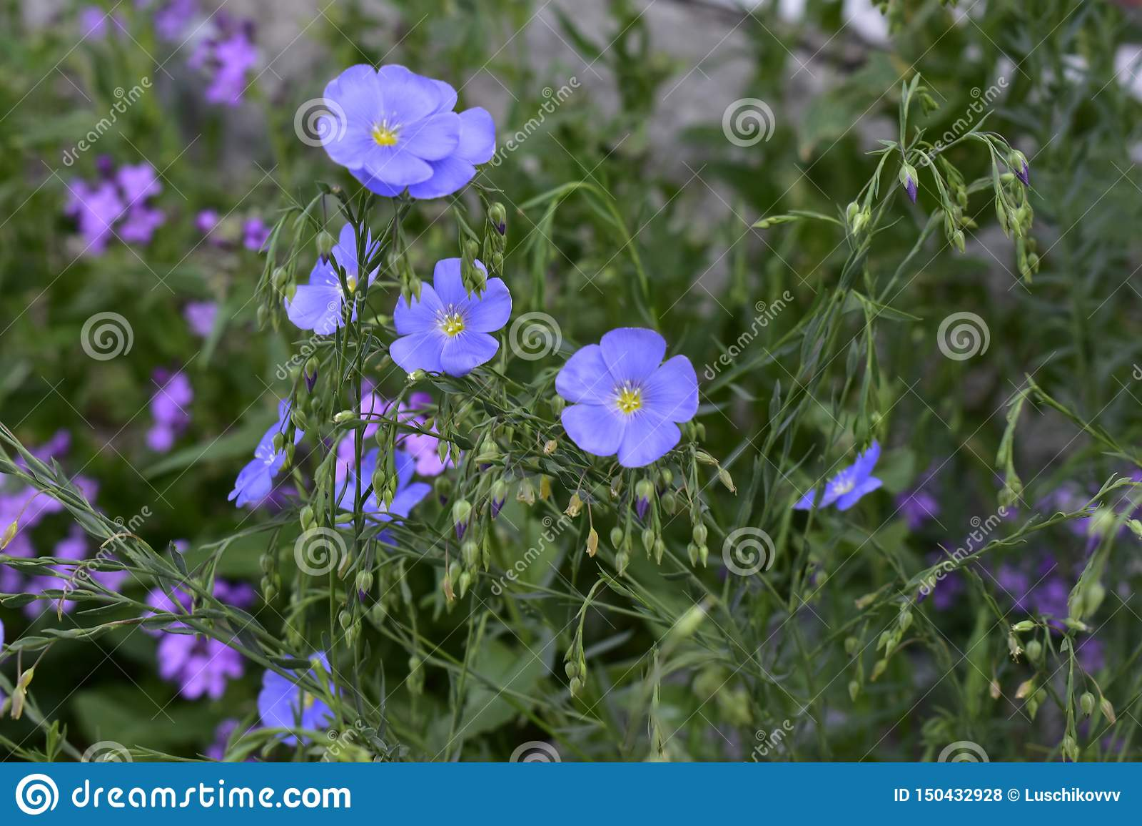 Первоцвет вечера цветка и голубой лен