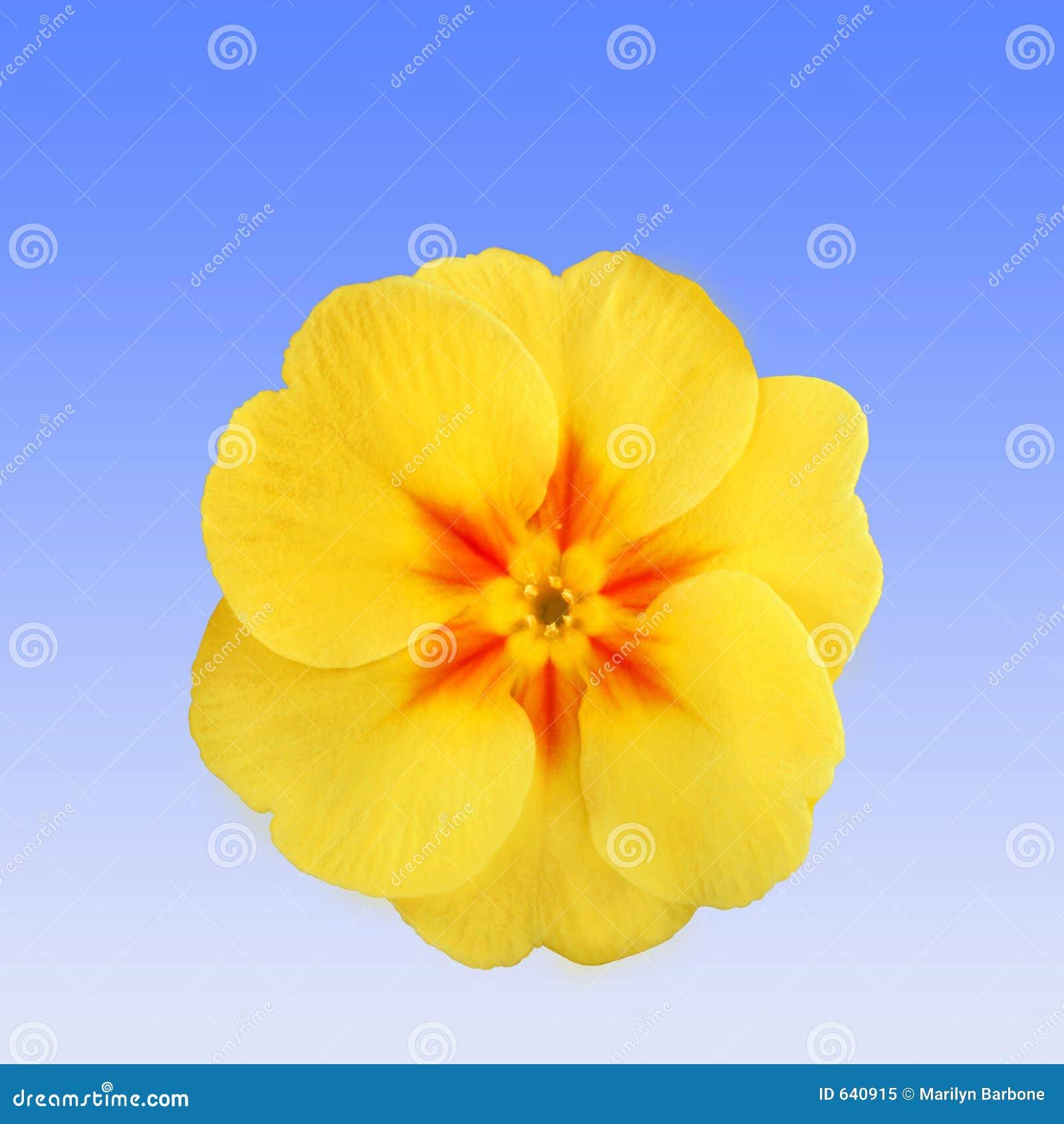Download первоцвет flowerhead стоковое изображение. изображение насчитывающей finest - 640915