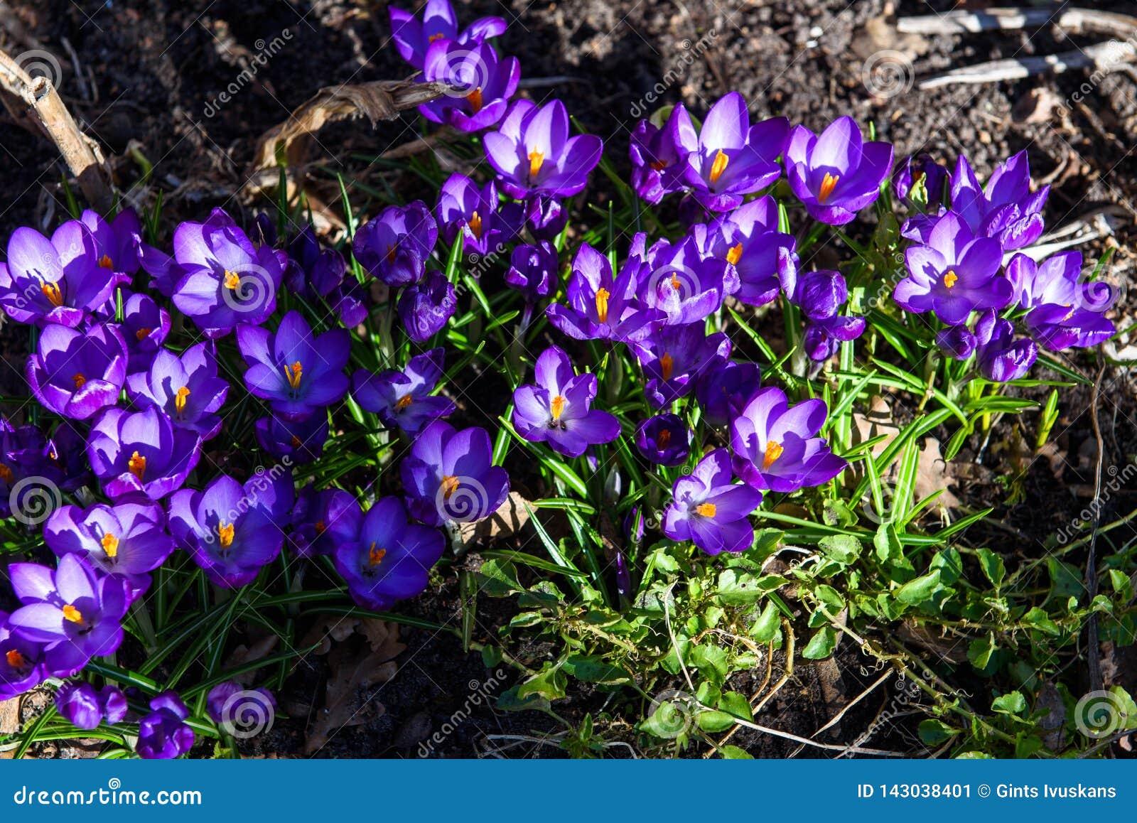 Первые голубые, пурпурные крокусы в саде
