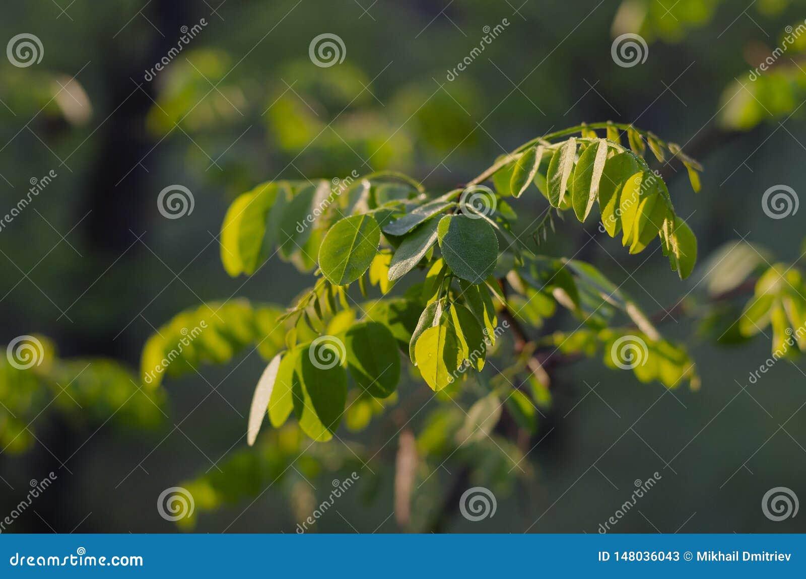 Первые зеленые листья акации