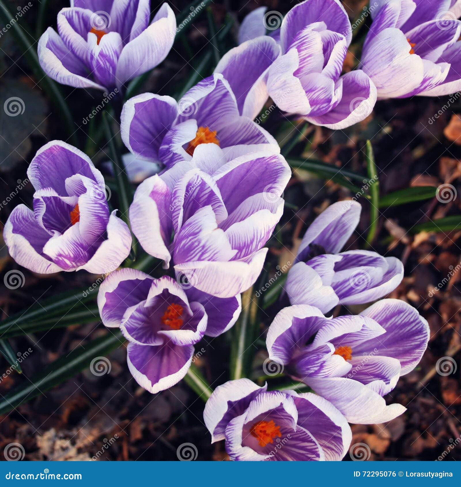 Download Первые цветки крокуса Цветения весны постаретое фото Стоковое Фото - изображение насчитывающей arachnids, земля: 72295076