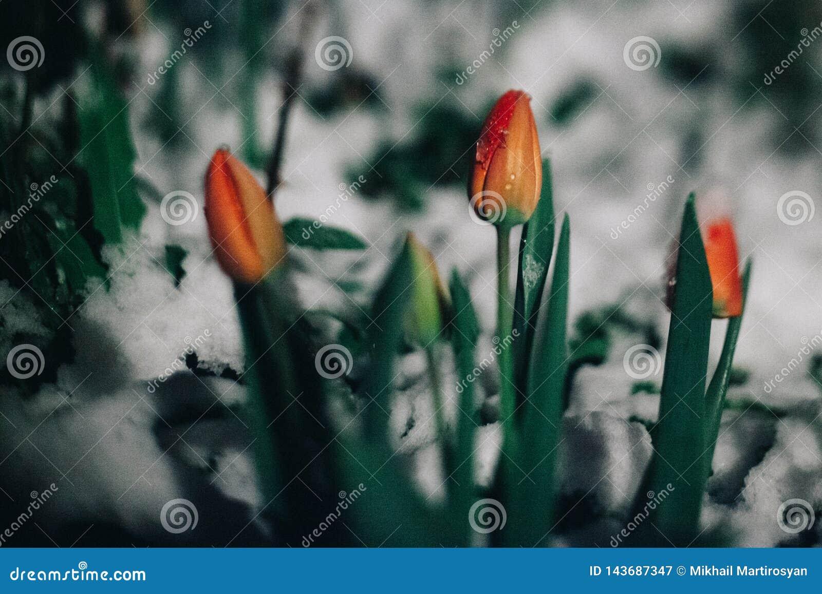 Первые цветки тюльпанов весны под снегом Оно идет снег в вечере или вечером Карточка весны с тюльпанами