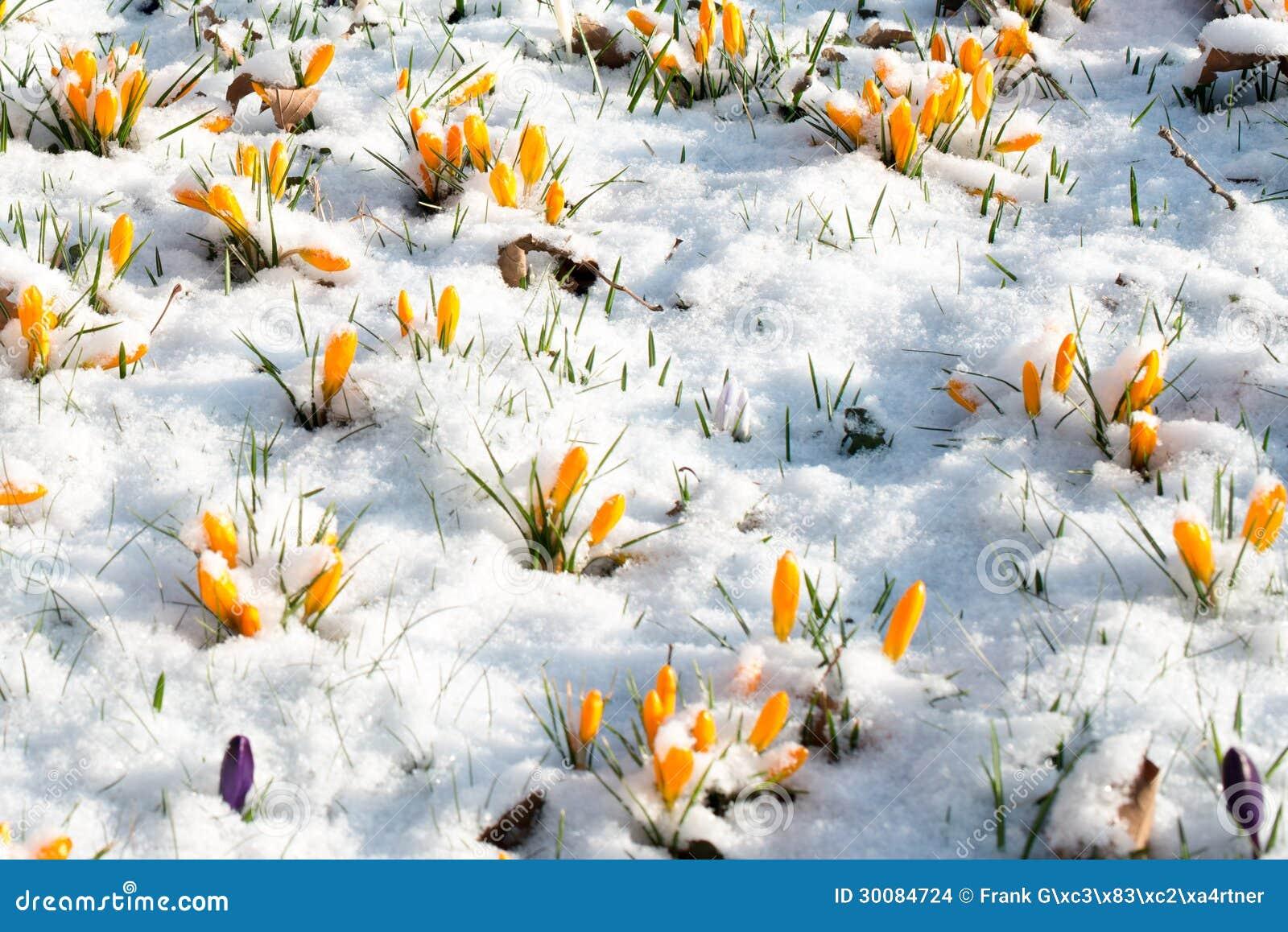 Цветки крокуса в снежке
