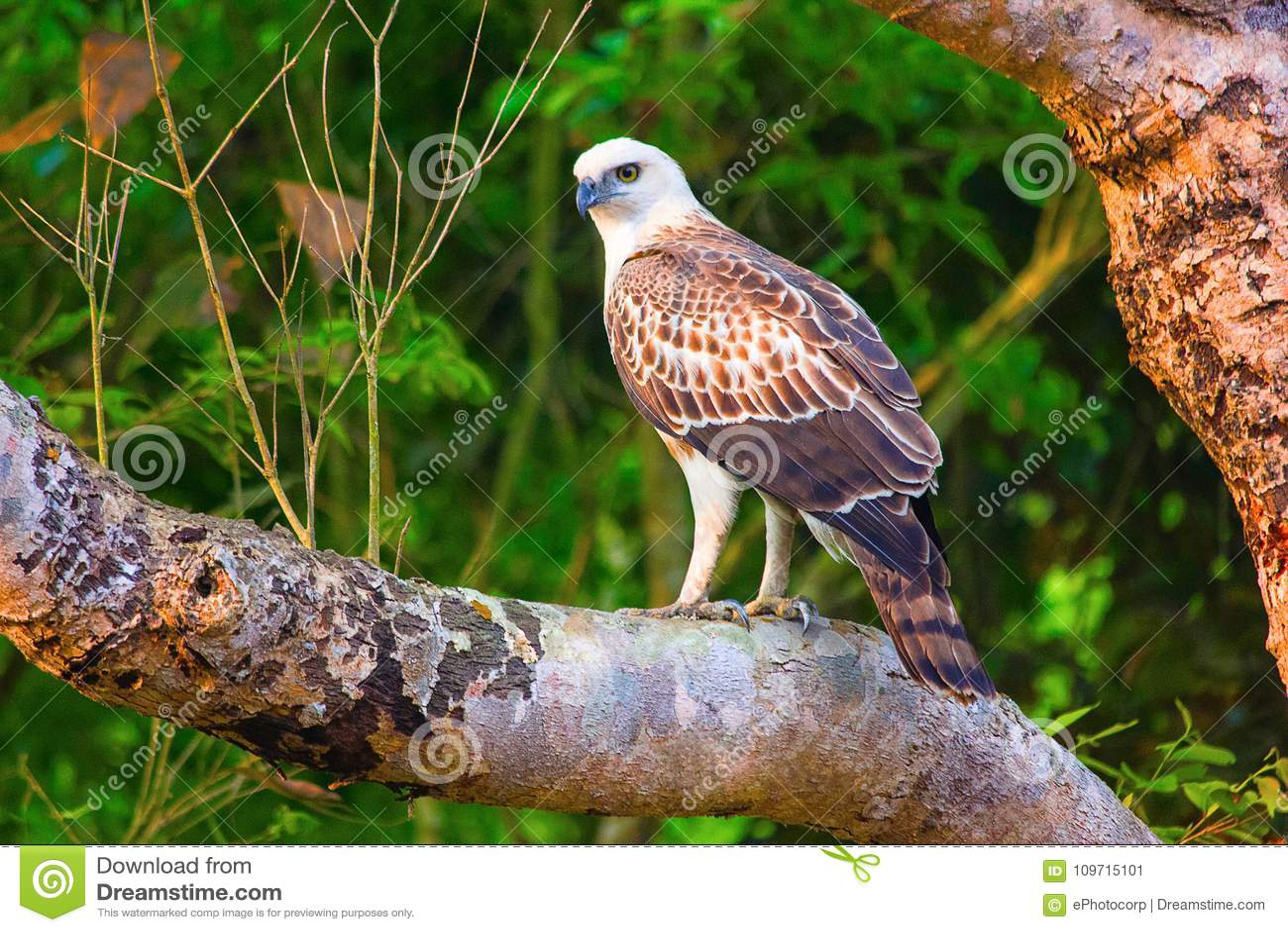 Переменчивый орел Juv хоука, cirrhatus Nisaetus, запас тигра Dudhwa, Уттар-Прадеш