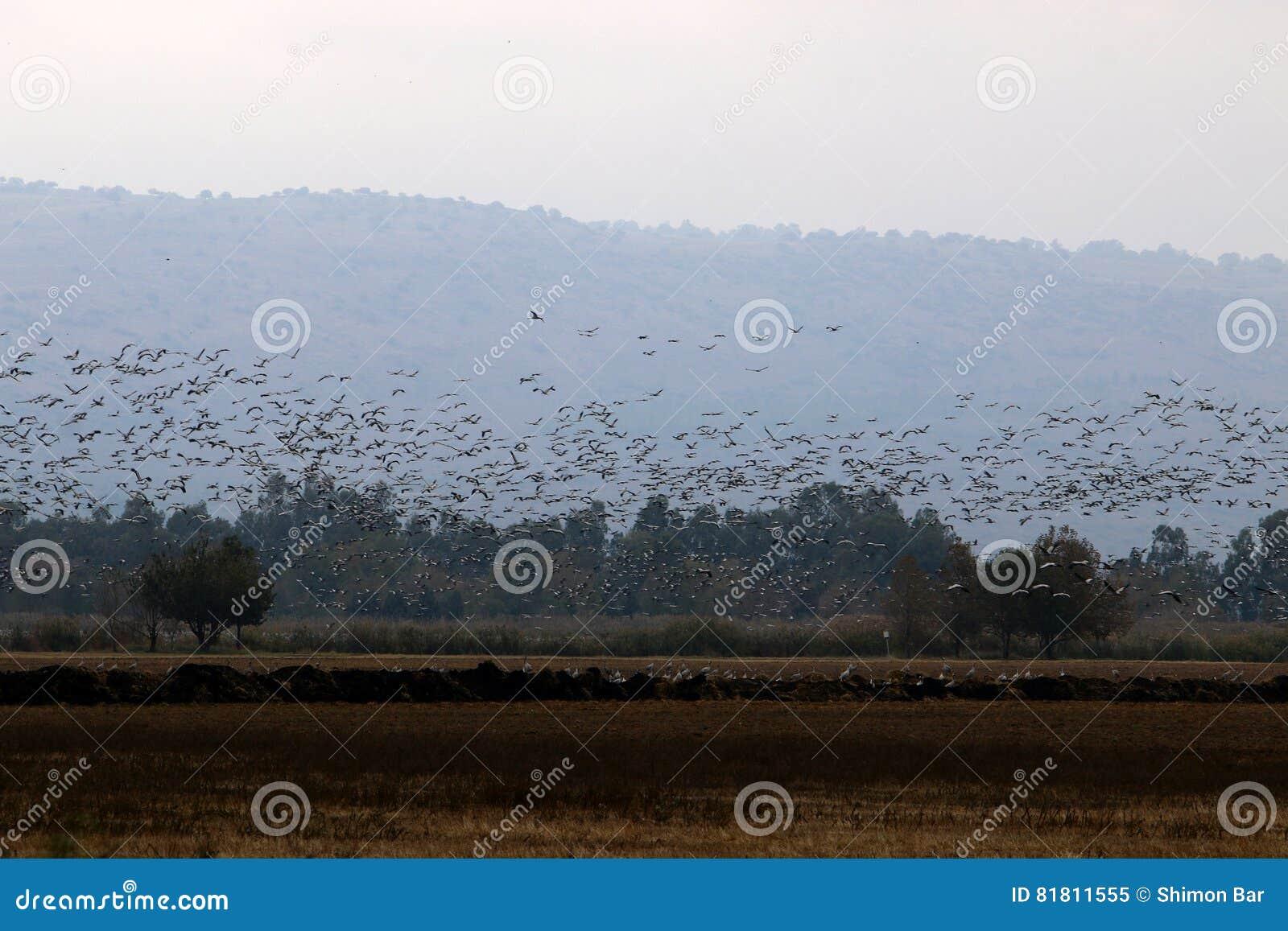 Перелётные птицы на озере Hula