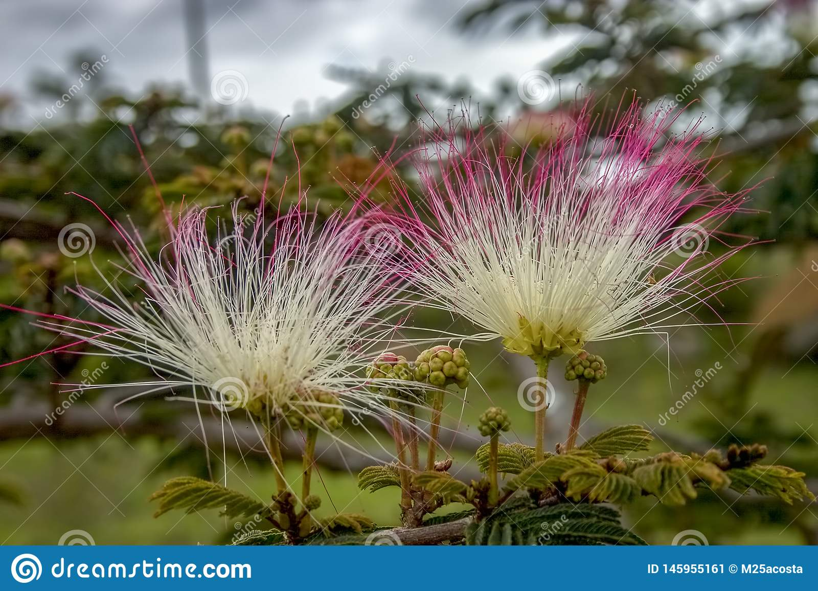2 персидских цветка дерева шелка