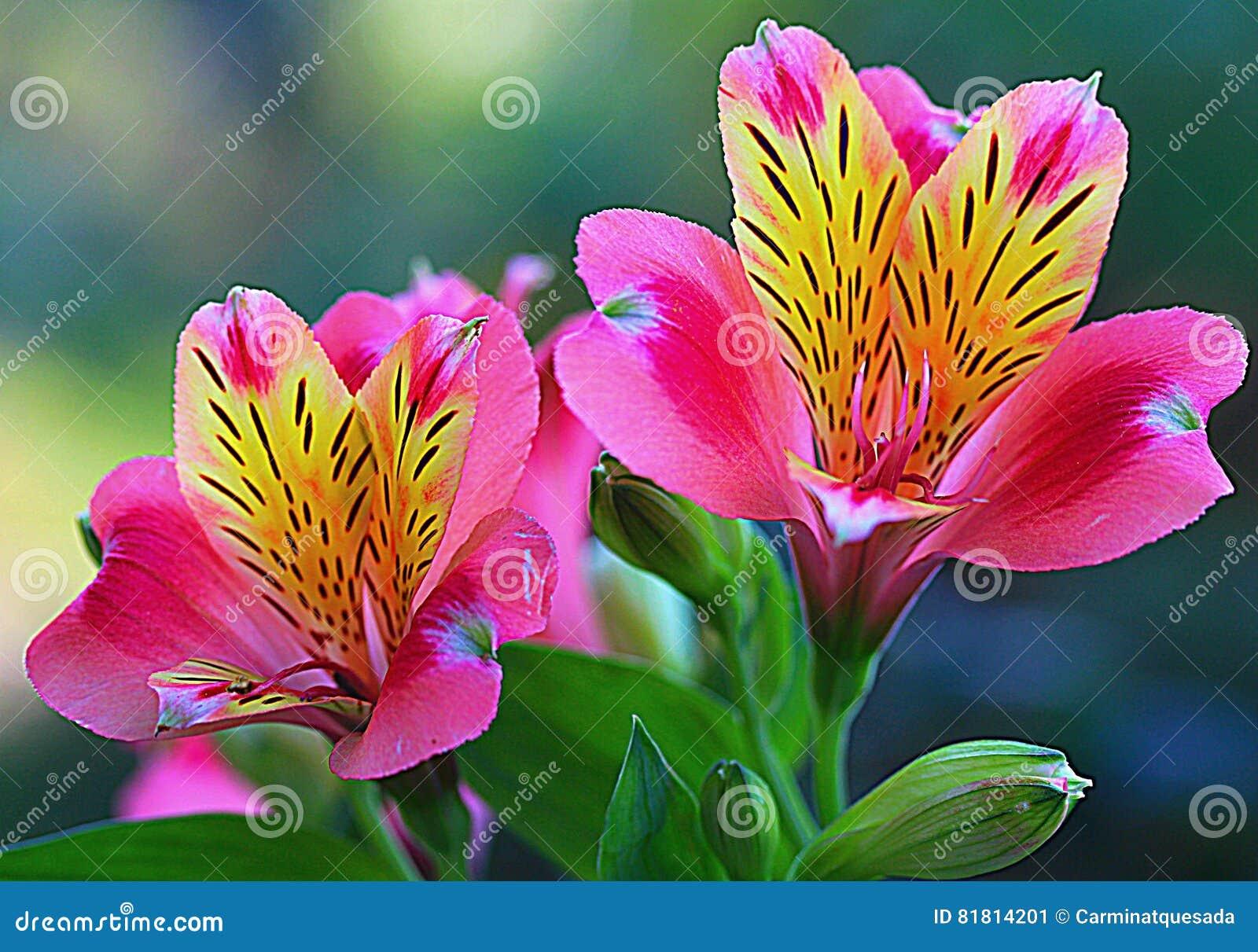 Перуанское Lillies