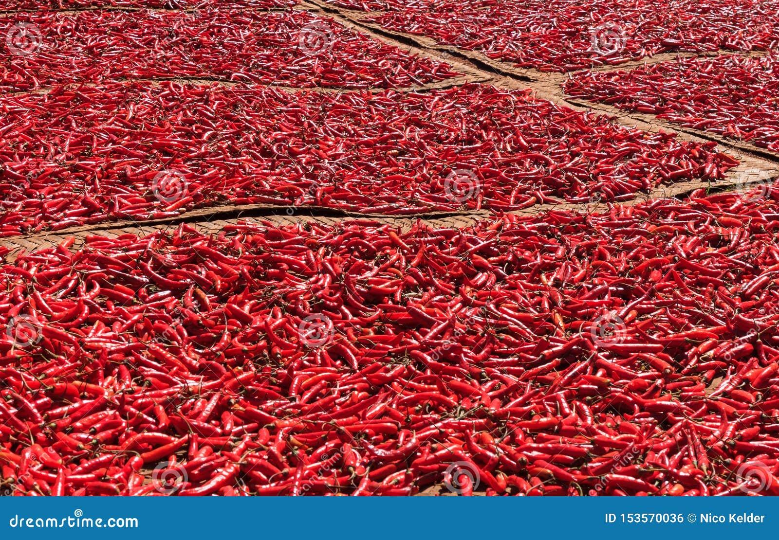 Перцы красных чилей суша в солнце