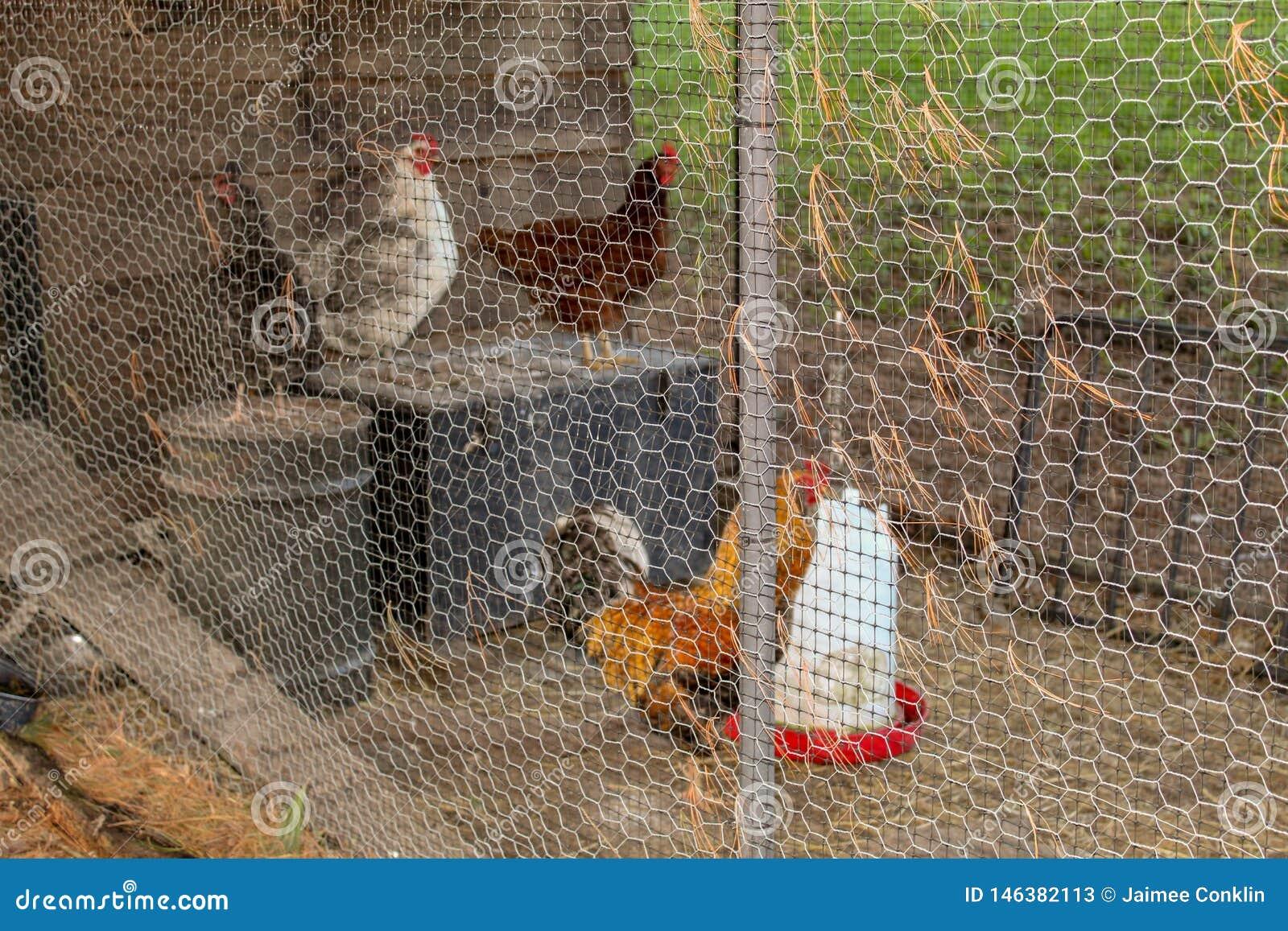 Петух и курицы стоя в загородке металла курятников