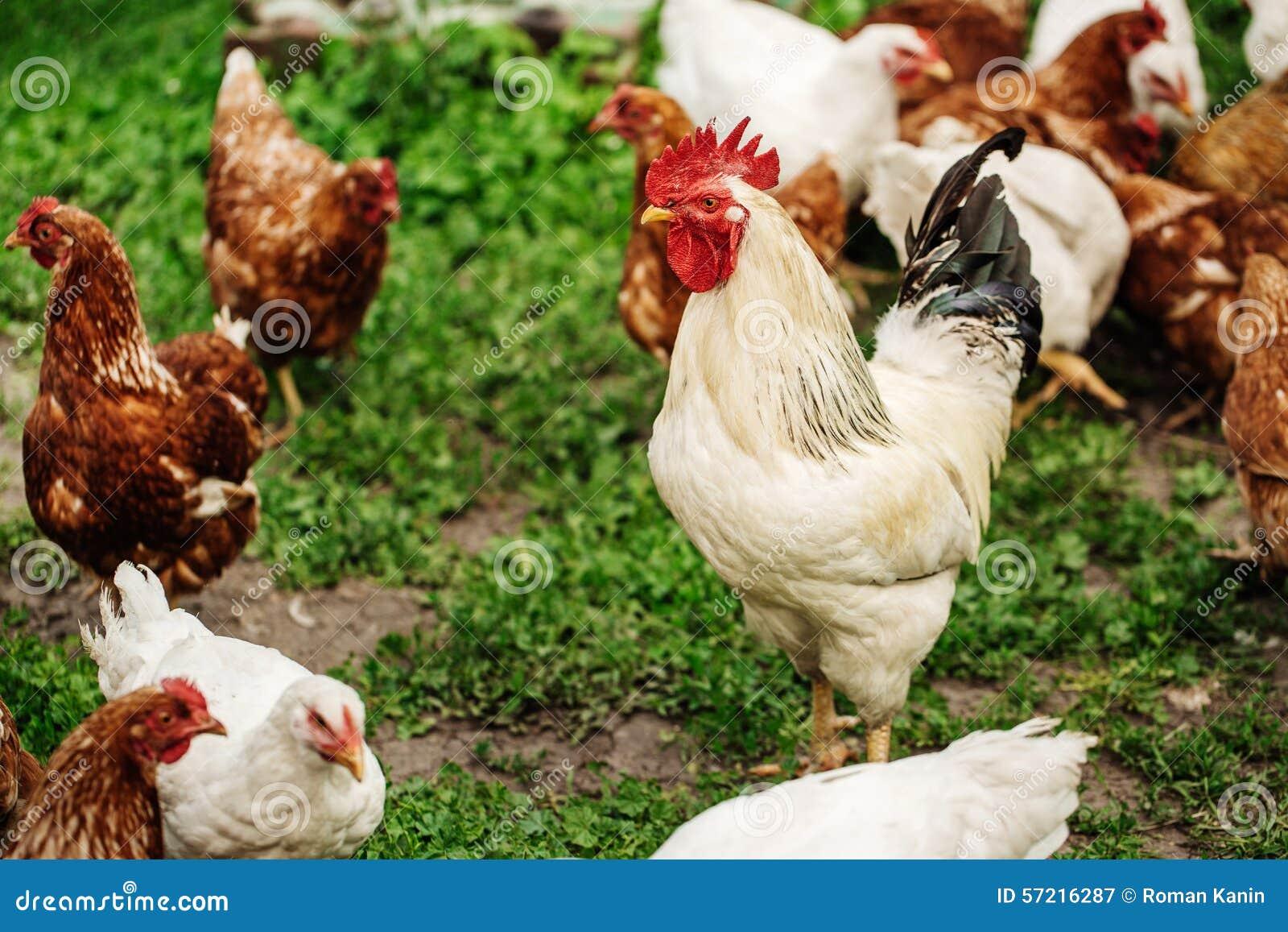 Петух на традиционной свободной птицеферме ряда