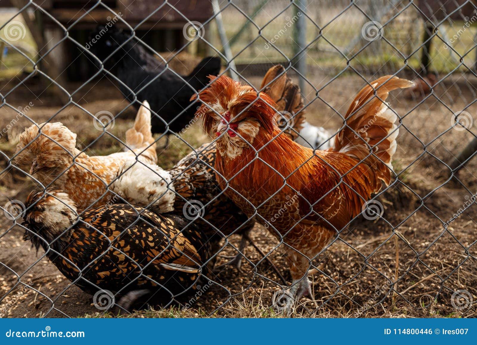 Петушок с курицами в клетке