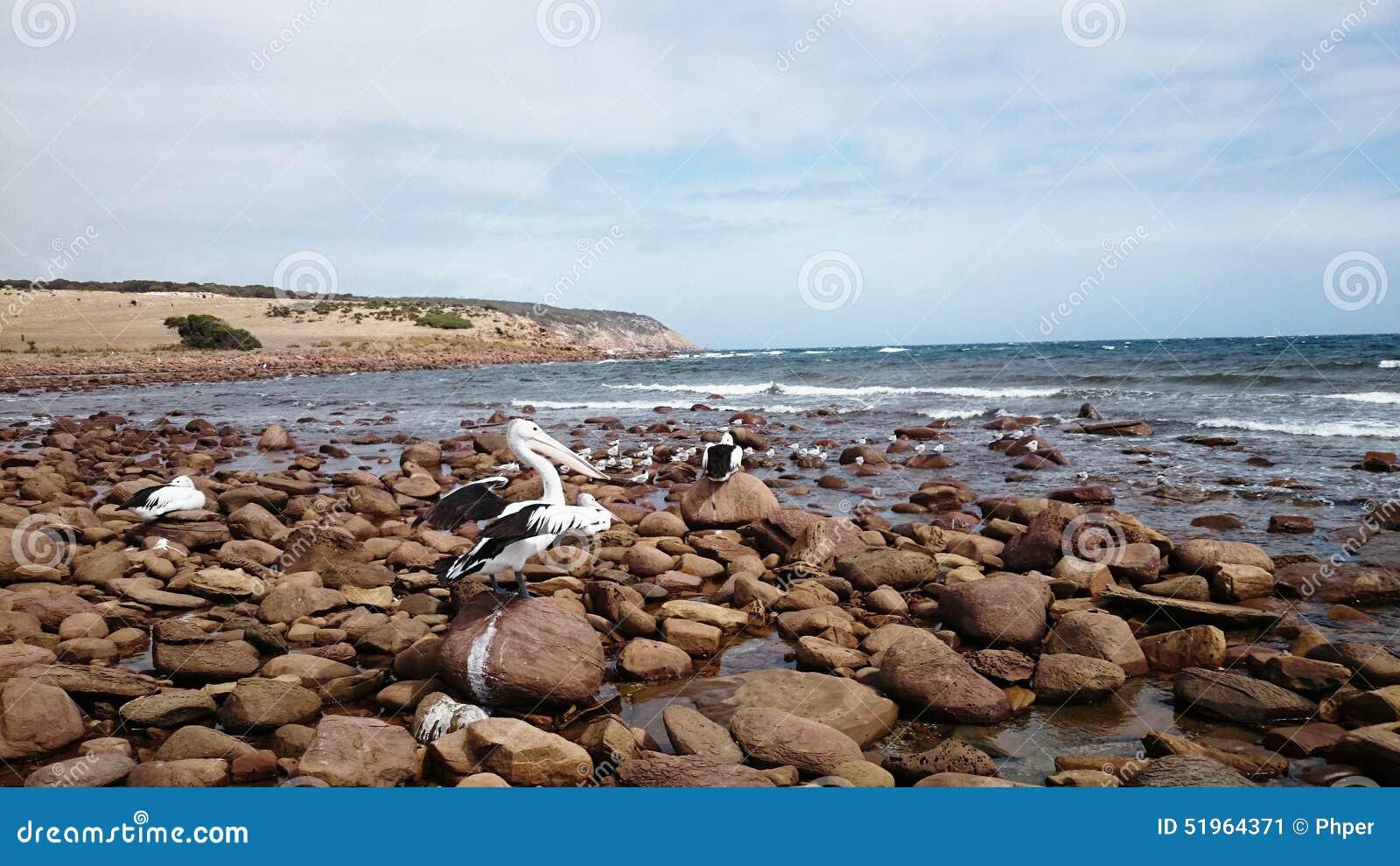 Пеликаны дальше гладят рукой пляж
