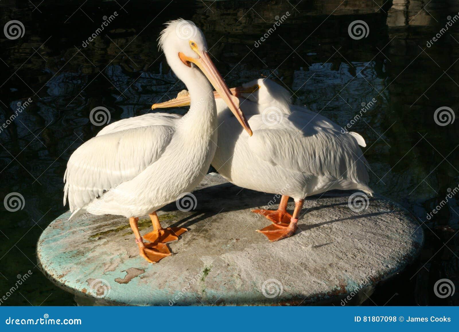 пеликаны белые