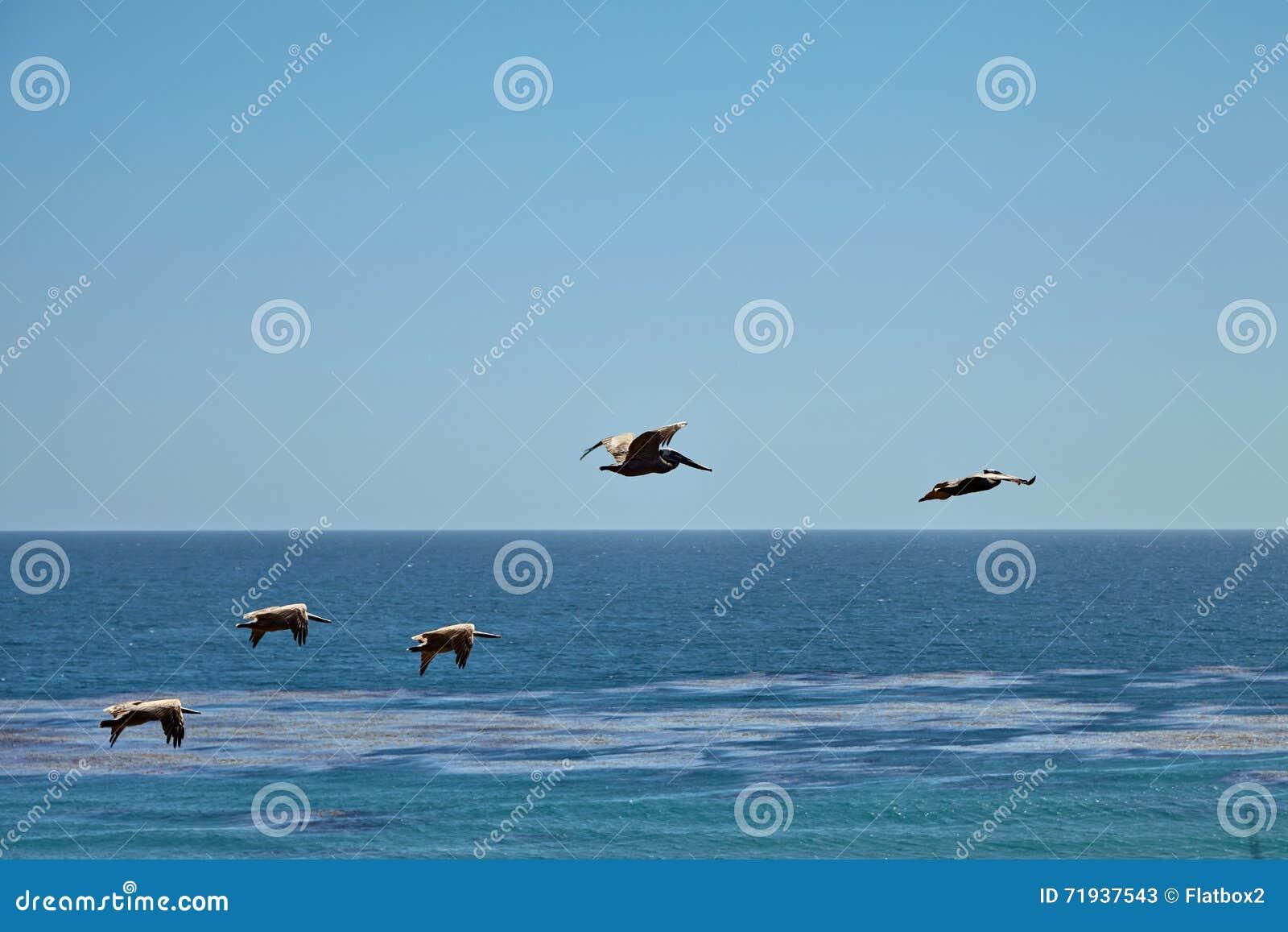 Пеликаны Брайна летая над океаном