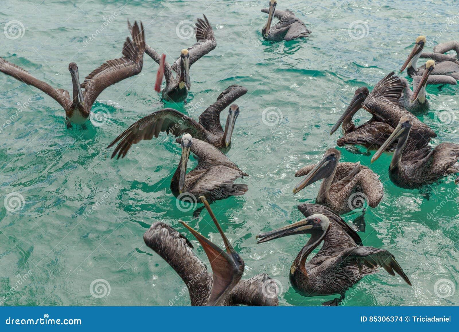 Пеликаны в воде