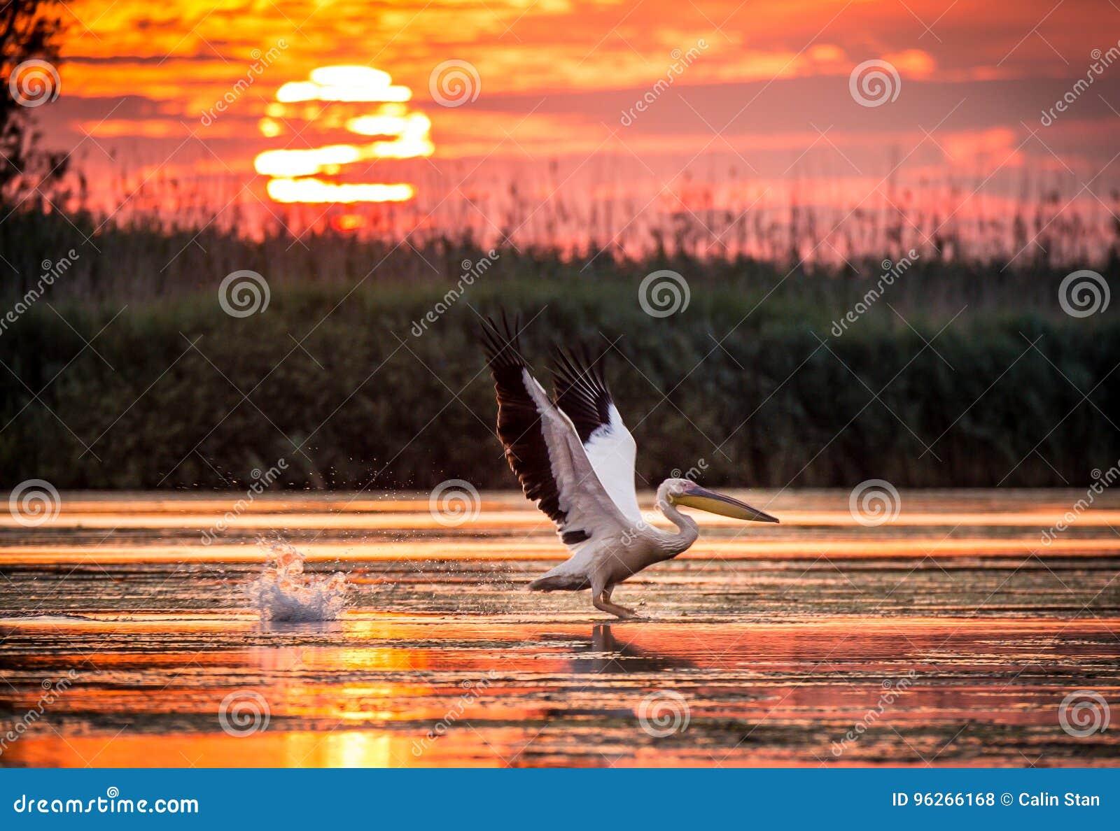 Пеликаны летая на восход солнца в перепаде Дуная, Румыния