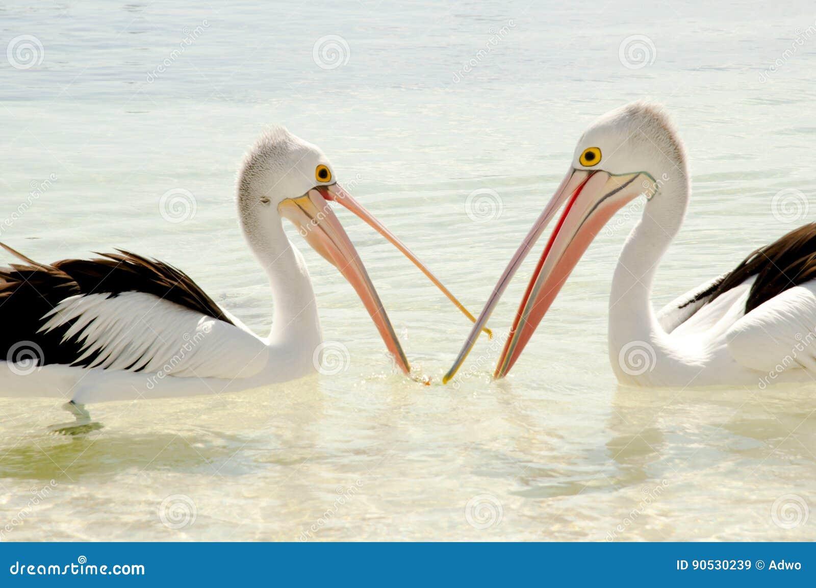 Пеликаны - остров Rottnest - Австралия