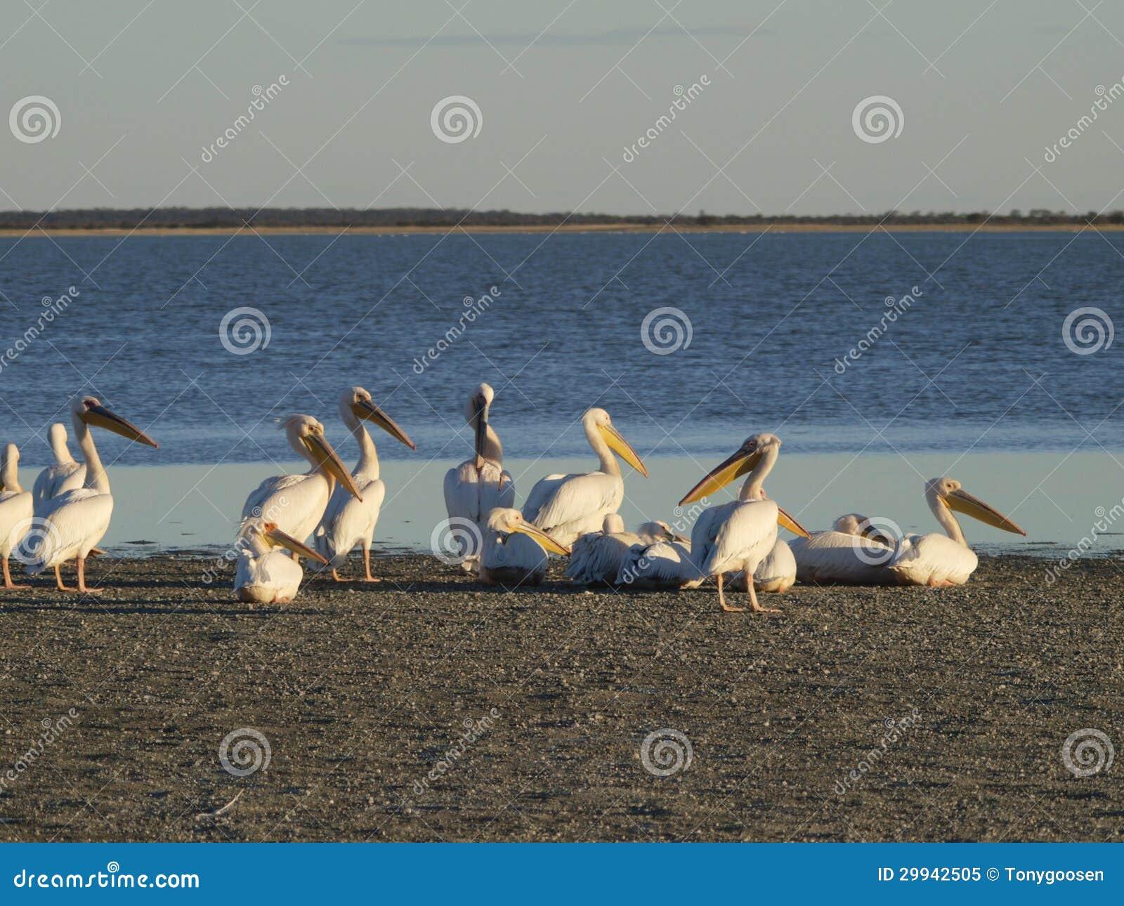 Пеликаны