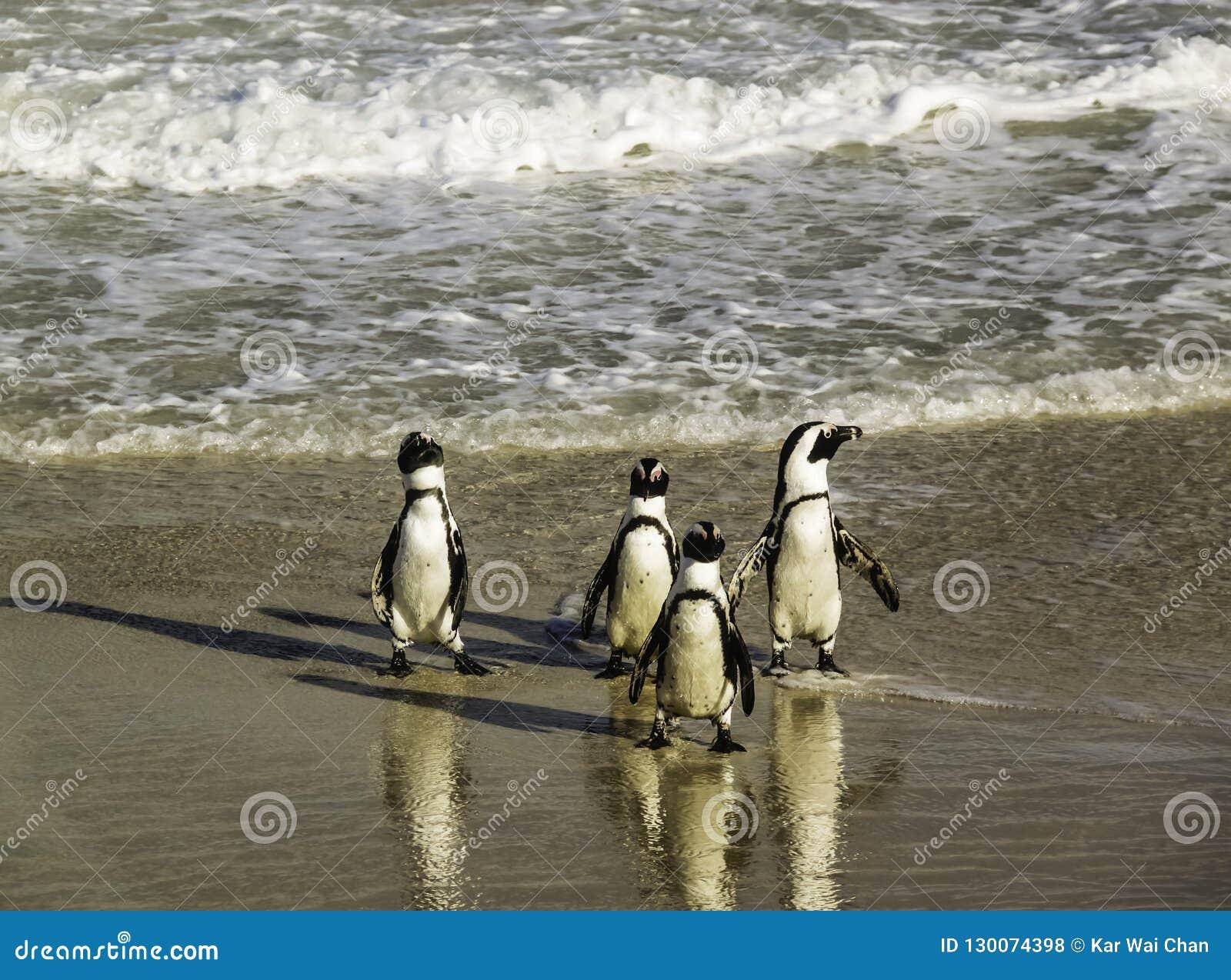 Пингвины идя топорно на пляж Больдэра